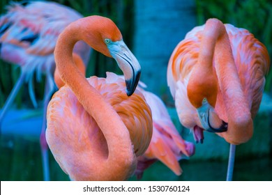 American Flamingos long legged flame colored spoon billed waterfoul of the Americas, Africa, Asia and Europe. national bird of the Bahamas. Plastic pink statues are used as lawn ornaments in the US.