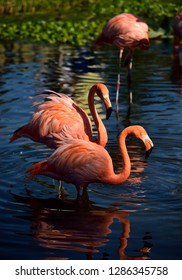 American Flamingos wading and walking in deeper water of a pond