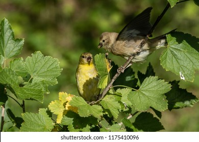 American Gold Finch Spinus tristis sitting in a Cup plant,  feeding young fledgling bird, seeds of the Cup plant