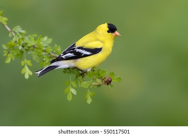 goldfinch images stock photos vectors shutterstock