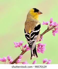 An American Goldfinch (Carduelis tristis) on a spring eastern redbud branch.