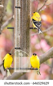 American Goldfinch on a niger feeder in an blooming ornamental apple tree