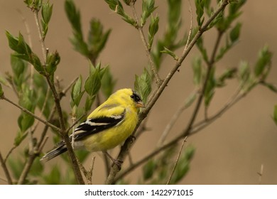American Goldfinch in Pennsylvania USA