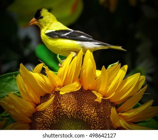 American Goldfinch Perched On A Bright Yellow Sunflower