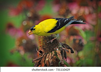 American Goldfinch perched on a Coneflower