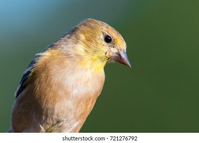 American Goldfinch (Spinus tristis) in adult, non-breeding colors. Golden Hour as sunset approaches brings out this bird's beautiful colors.