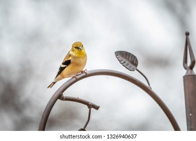 American Goldfinch (Spinus tristis) at a feeder.