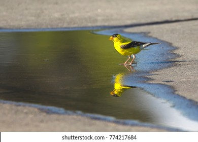 American goldfinch (Spinus tristis) male near the puddle.
