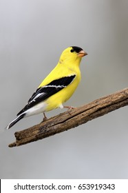 American Goldfinch (Spinus tristis) perched on a branch with a gray background.