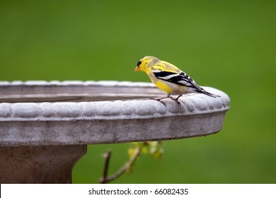 An American goldfinch (spinus tristis) sitting on the edge of a stone bird bath.