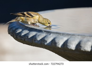 An American Goldfinch (Spinus tristis) takes a long, deep, drink from a freshly cleaned and filled bird bath.