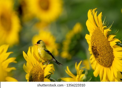 American goldfinch (Spinus trusts) perched on a bright yellow sunflower on a summer morning.