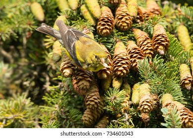 American Goldfinch taking advantage of a large bounty of fresh pine cone seeds.