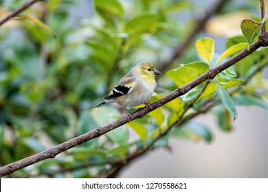 American Goldfinch Wintering in Louisiana