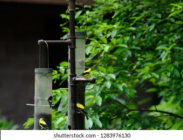American Goldfinches On A Feeder