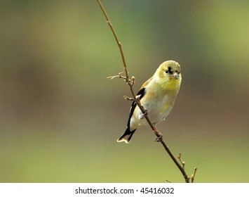 American Goldfinch(male)