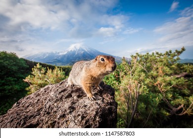 American gopher on the background of the volcano Plosky Tolbachik, the peninsula of Kamchatka
