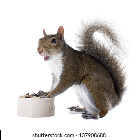 The American gray squirrel around the bowl of food isolated on white background