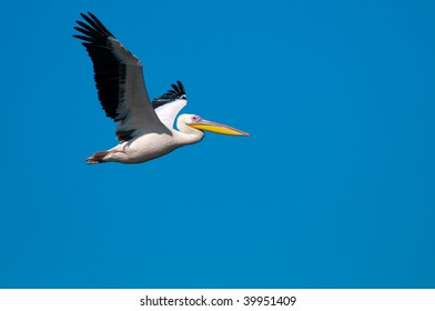 American Great White Pelican in flight