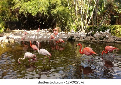 American and Greater Flamingos  socialize with the White ibis at Flamingo Gardens in Davie, Florida, USA.