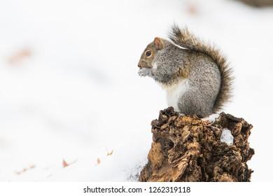 american grey squirrel in winter