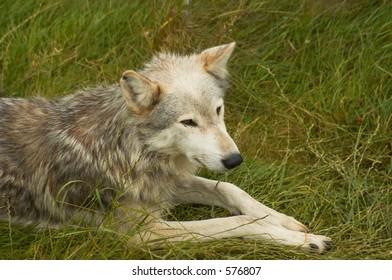 An American Grey Wolf