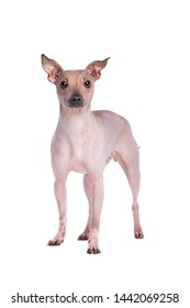American Hairless Terrier in front of a white background