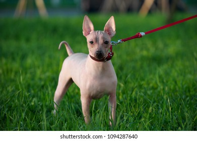 American Hairless Terrier with red leash standing on green lawn background  in evening light
