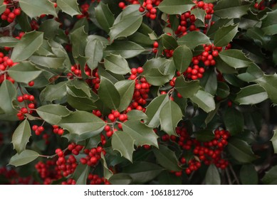 American Holly (Ilex opaca) with red berries.