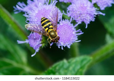 American Hoverfly resting on a bunch of purple flowers. Rosetta McClain Gardens, Toronto, Ontario, Canada.