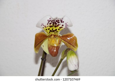 American hybrid Paphiopedilum in blossom. Orchid Hybrid in bloom. Close-up of Ladie's slipper orchid. Isolated. White - grey background