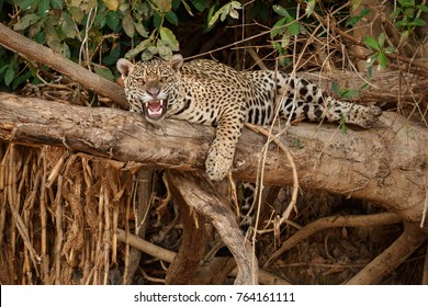 American jaguar female in the nature habitat, panthera onca, wild brasil, brasilian wildlife, pantanal, green jungle, big cats