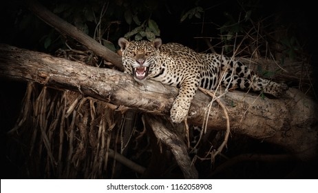 American jaguar on a tree trunk in the darkness of brazilian jungle. Panthera onca. Wild brasil. Brasilian wildlife. Pantanal. Green jungle. Big cats and dark background.