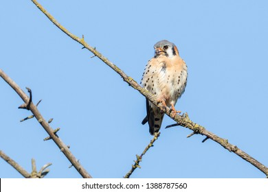 american kestrel bird at Burnaby BC Canada
