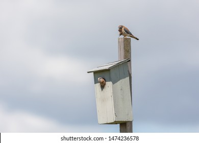 american kestrel chick and nest box  at Burnaby BC Canada, feed young bird.