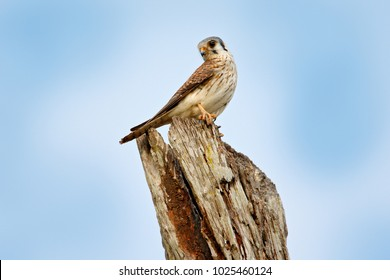 American kestrel Falco sparverius, sitting on the trunk, little bird of prey sitting on the top of the tree, Brazil. Bird in the nature habitat. Wildlife scene from nature.