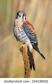American kestrel (Falco sparverius) sitting on a mullein