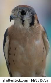 american kestrel falcon up close