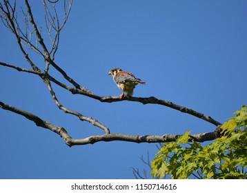 American Kestrel Hawk Eating grasshopper