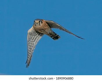 American Kestrel In-Flight Wings Down - The American kestrel, also called a sparrow hawk is the smallest and most common falcon in North America. Platteville, Colorado.