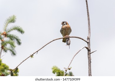 american kestrel with mouse at Burnaby BC Canada