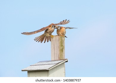 american kestrel and nest box  at Burnaby BC Canada