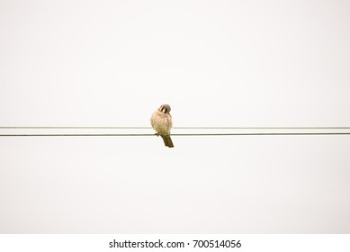 An American Kestrel sits perched on a wire in front of an overcast, white sky, looking down, on the hunt for prey