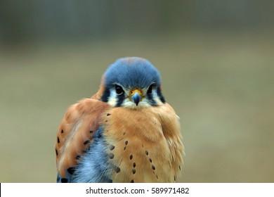 American kestrel/bird close up/falcon feathers
