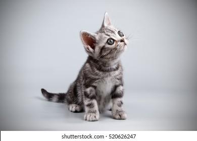 American kitten