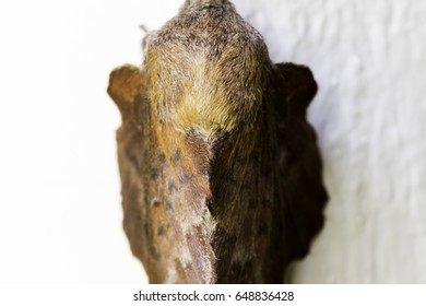 American Lappet Moth - Looks like a leaf resting on white