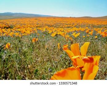 American life / Antelope Vally California Poppy Reserve Orange Carpet & Blue SKY.Close-Up.