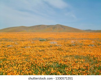 American life / Antelope Vally California Poppy Reserve Orange Carpet & Blue SKY.