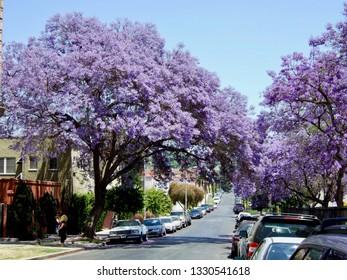 American Life / Jacaranda Trees.Purple cherry blossoms and blue sky.
