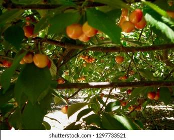 American life / Rainier cherry fruits in trees.